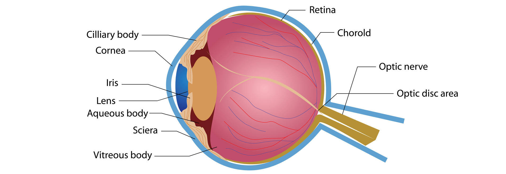 Armenian EyeCare Project » Anatomy of the Eye